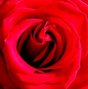 Heart of a red rose DH
