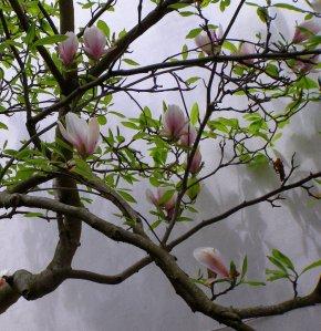 Magnolia Hooson