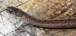 news-brown-snake