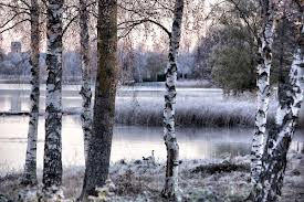 Silver Birches cold scene