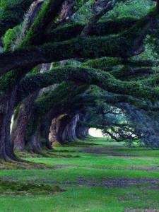 300 year old Oak Trees at Oak Alley Plantation Louisianna