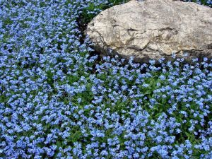 Forget-me-not and stone