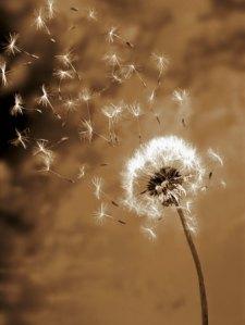 dandelion-seed-blowing-away