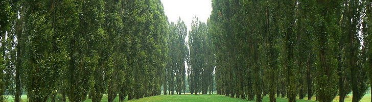 Green-Cathedral-Poplars-1